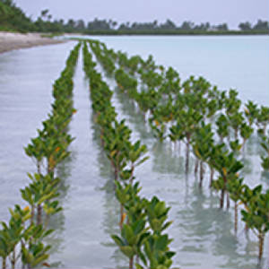 Mangroves-Kiribati-Commonwealth-Local-Govt-Forum.jpg